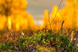 Autumn colours Swedish Lapland