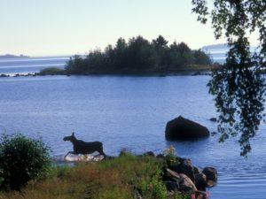 Moose on island in Lulea Archipelago