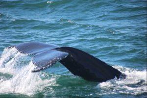 Fluking humpback whale, Iceland