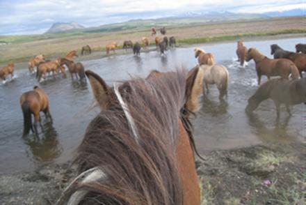 Icelandic horses crossing the river