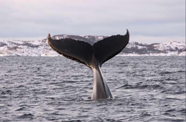 Iceland Northern Lights & Whales Explorer