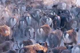 Reindeer herd in Swedish Lapland
