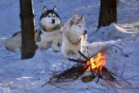 Huskies relaxing by the outdoor fire, Sweden