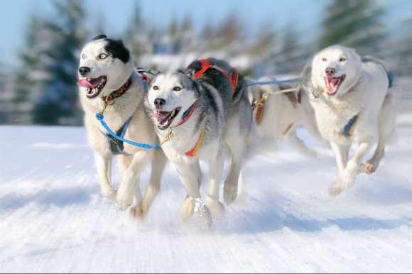Trio of huskies, Sweden