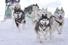 Huskies in action, Sweden