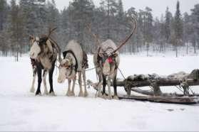 Reindeer sled, Sweden