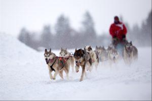 husky team in Swedish Lapland