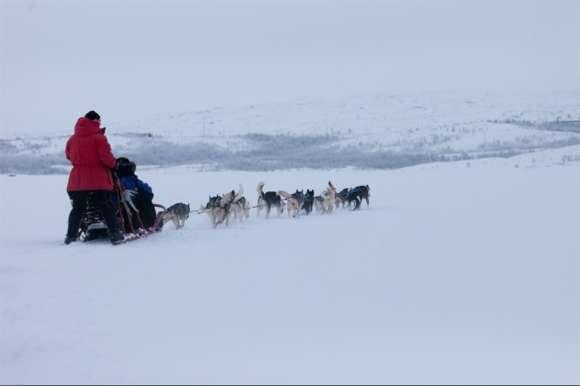Huskies dogsledding in Swedish Lapland