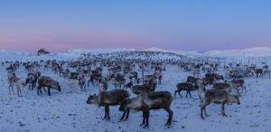 Reindeer herd Sweden