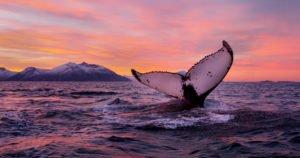 Whale safari Tromso Norway