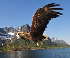 sea eagle from a rib boat in Trolfjord, Lofoten Islands Norway