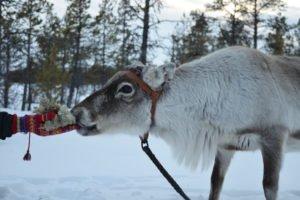 Ida Maria Svonni Reindeer experience