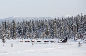 Dog Sledding in Kiruna Lapland Sweden