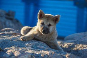 Husky puppy in Rodebay in Greenland