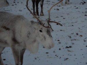 Reindeer in Narvik