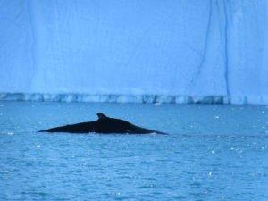 Whales in Disko Bay in Greenland near Ilulissat