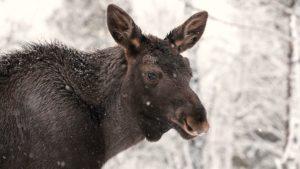 Moose near the Tree Hotel in Sweden